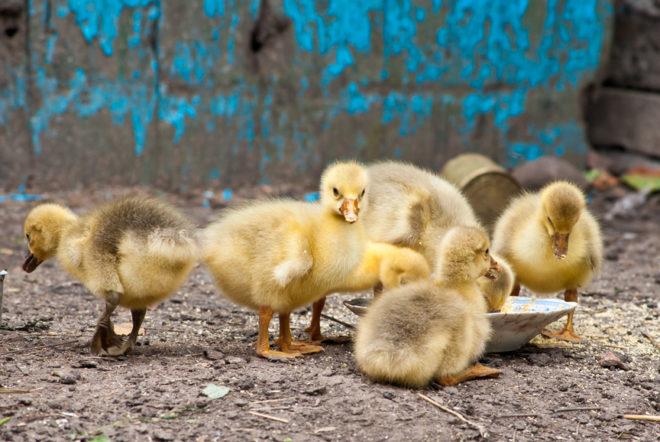 Маленькие гусята требуют особого ухода