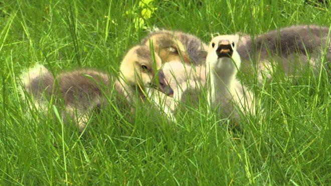 Птенцы уральского гуся