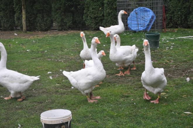 Неограниченный выгул для эмденских гусей