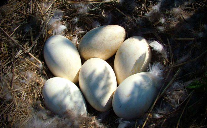 Хороший уход принесет до 120 яиц в год
