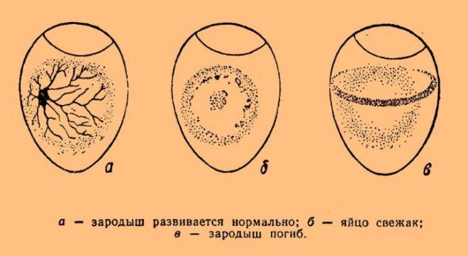 Схема развития зародыша в яйце