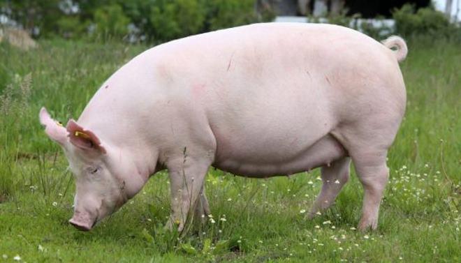 Разведение свиней - дело нехитрое