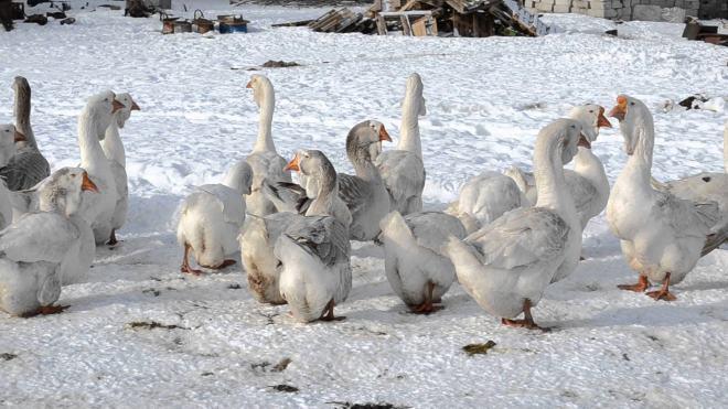 На Руси люди организовывали гусиные бои