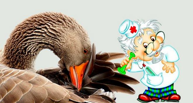 Гуси болеют • инфекции, симптомы и лечение гусей