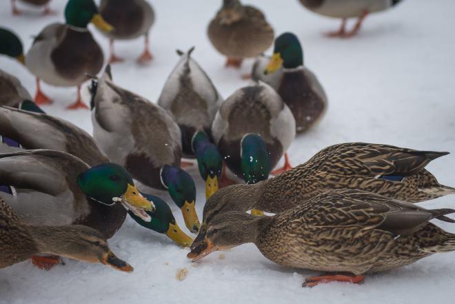В холодное время года птицам необходимо давать витамины