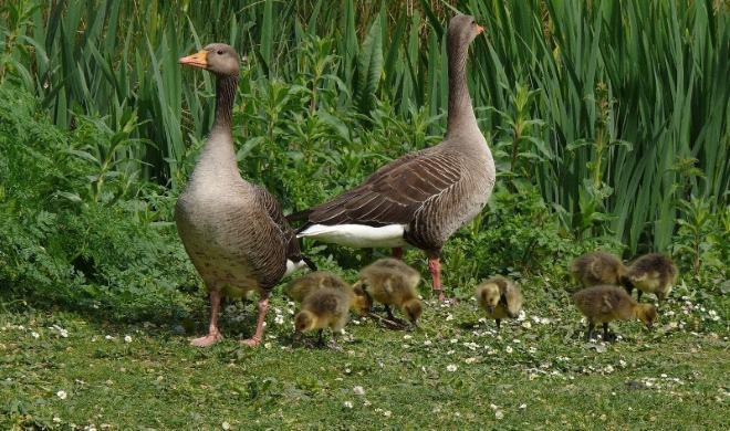 Начисляется множество видов диких гусей