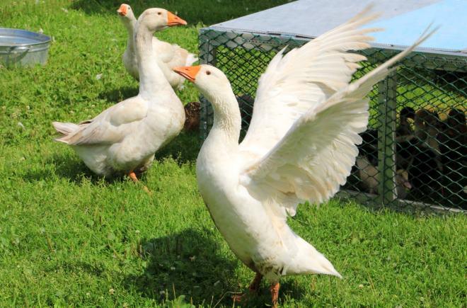 У гусей развитая широкая грудь