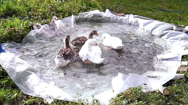 Возле гусей всегда должна быть вода