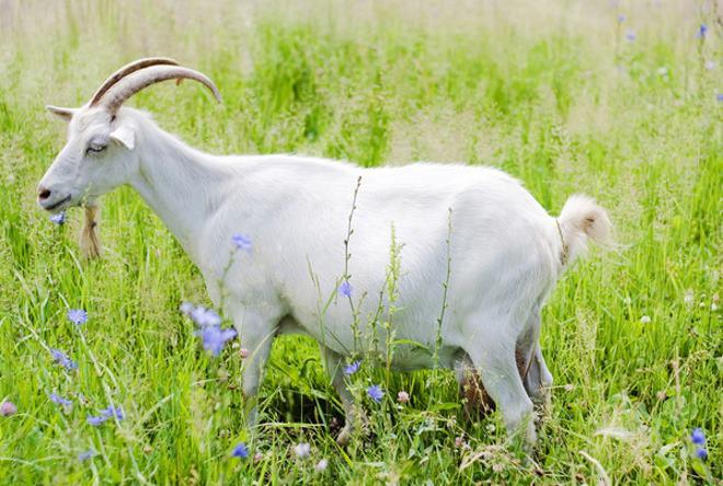 Важно знать правила запуска козы перед окотом