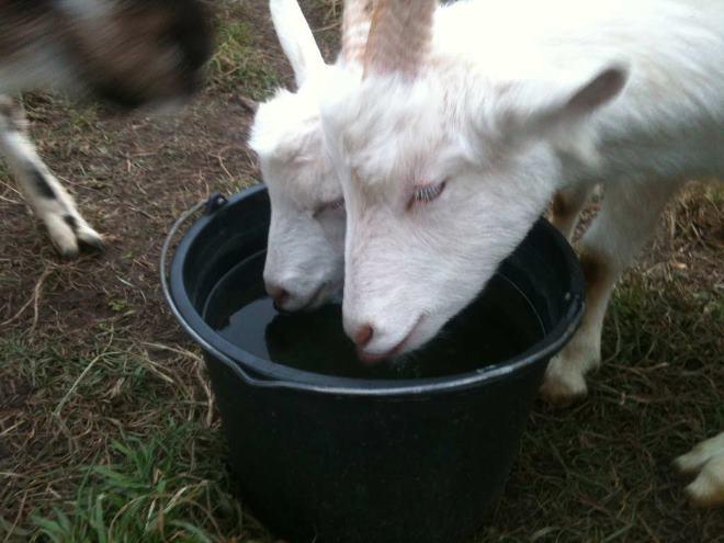Возле козы всегда должна быть вода