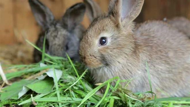 Рацион кроликов богат