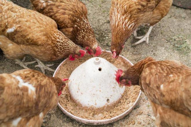 В рационе кур обязательно должны быть витаминные добавки
