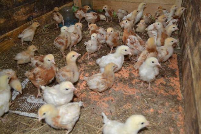 Кормить птенцов надо одновременно