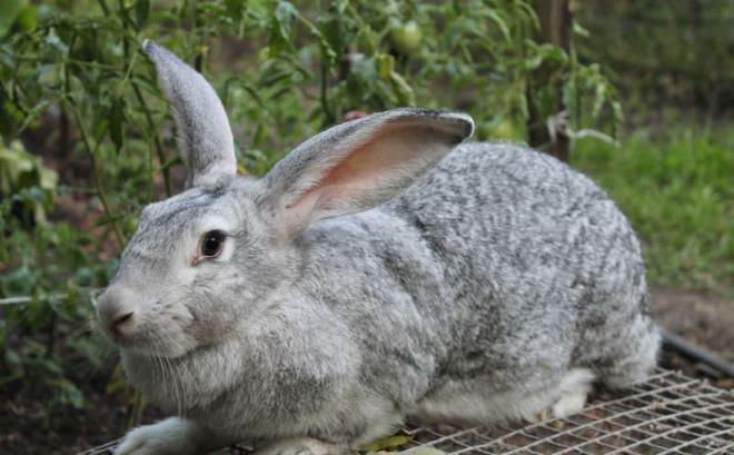 Мясо кролика содержит большое количество белков
