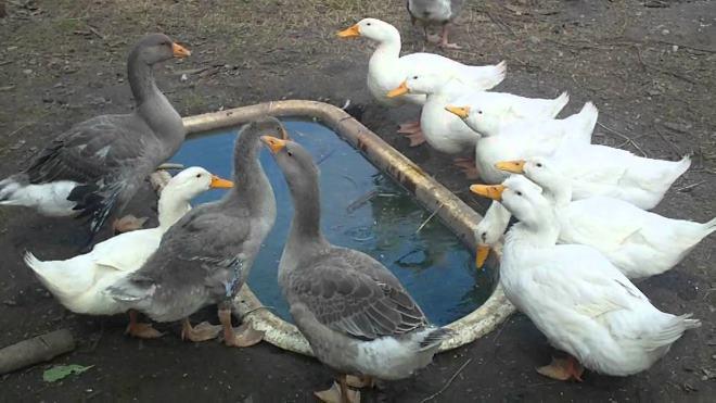 Все породы гусей пользуются популярностью