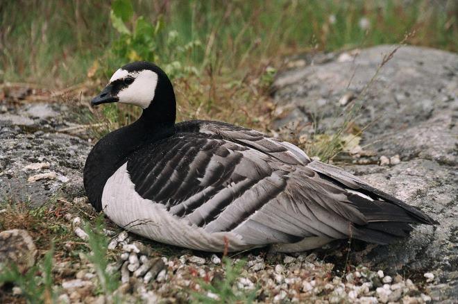 Порода чёрного гуся не достигает больших размеров, всего 60 см
