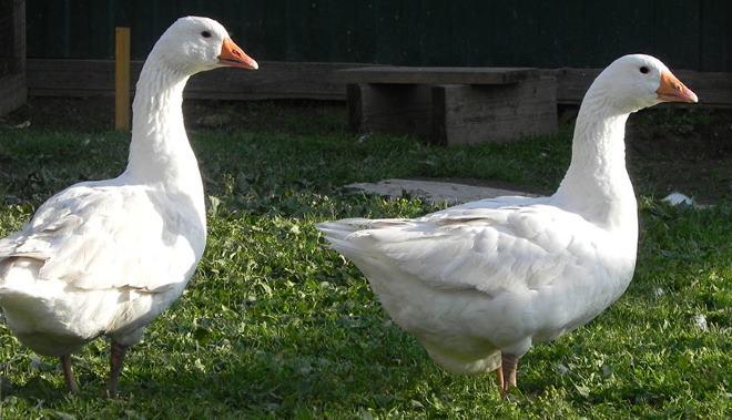 Венгерские гуси пользуются большой популярностью