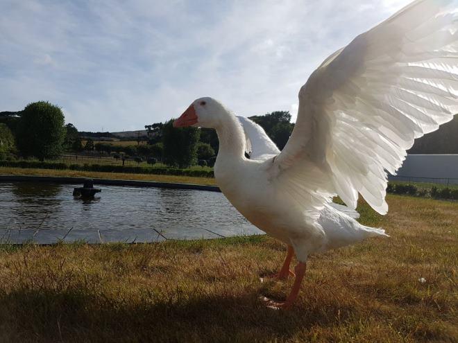 Желательно, чтобы возли гусей был пруд с чистой водой