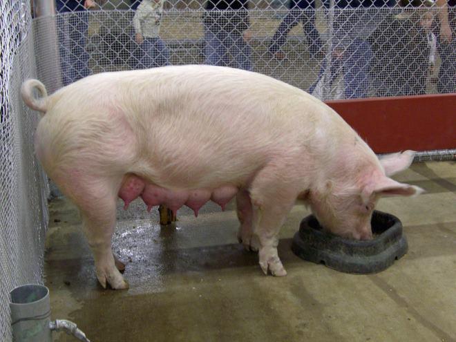 В период кормления поросят, свиноматке нужно давать протеин