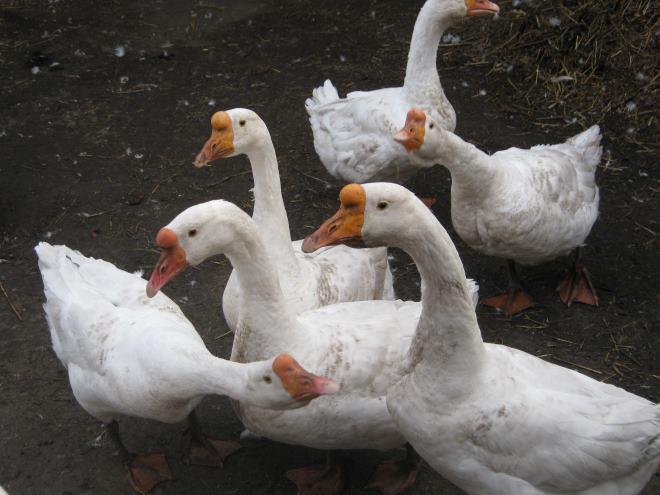 Приручение гусей началось три тысячи лет назад