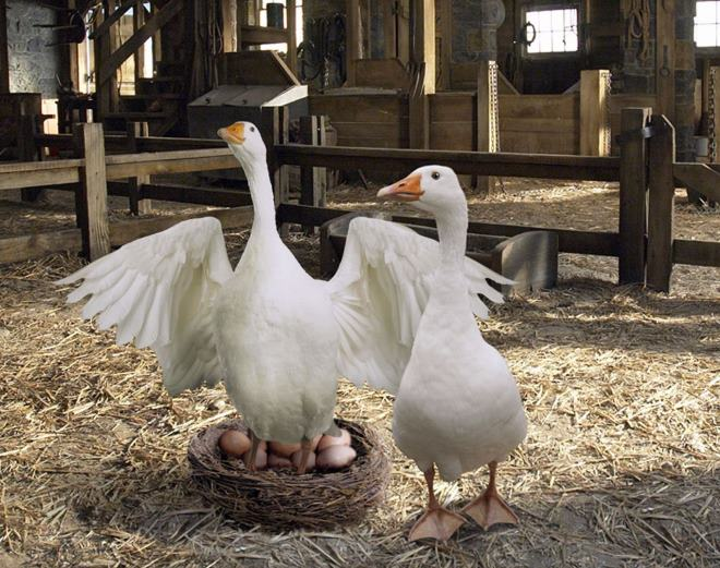 Гусиные яйца пользуются большой популярностью