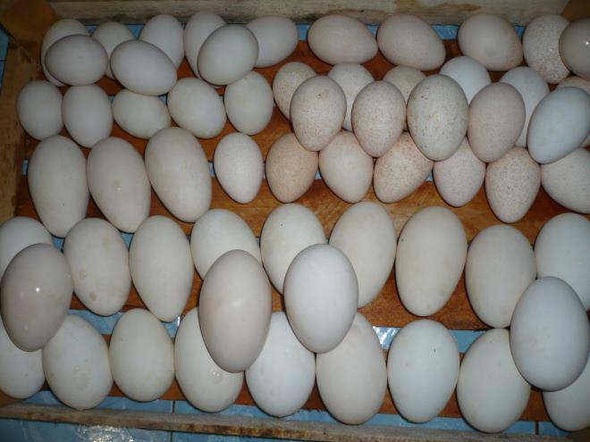 Яйца для инкубации берут у молодых и здоровых птиц