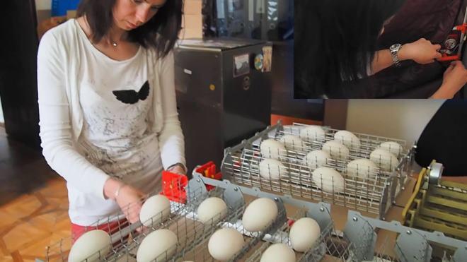 Сначала инкубатор нужно прогреть, а потом выставлять яйца