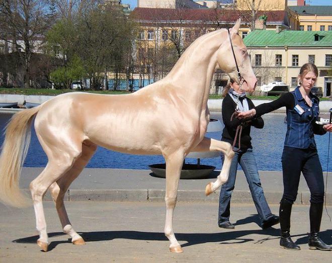 Изабелловая масть лошади, считается одной из самых красивых