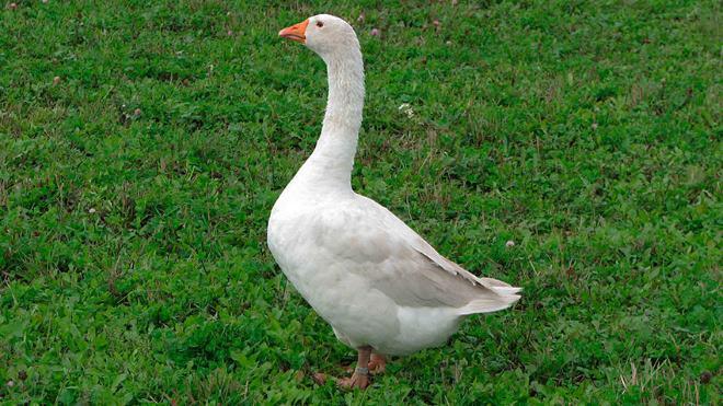 Не стоит кормить птицу перед забоем