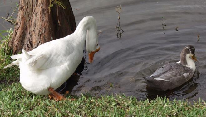 Как правило гуси более крупные чем утки