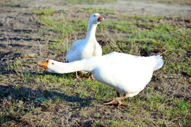 Потрошение тушек гусей - частое занятие