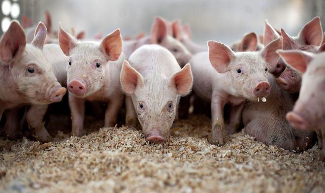 Разведение свиней всегда пользовалось популярностью