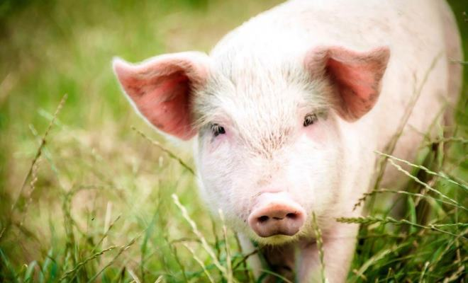 Крупная белая порода свиней ценится из-за масивности