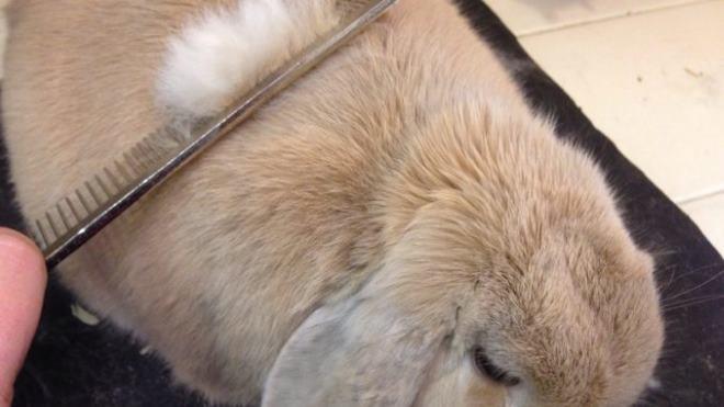 Скатанную шерсть кролика надо убирать