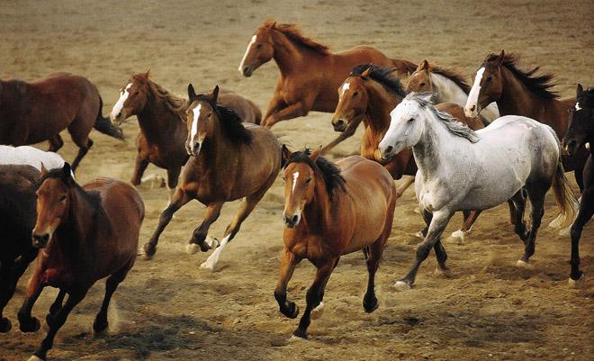 Начисляется более 250 тысяч разновидностей лошадей