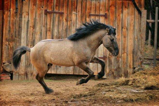 Башкирские лошади считаются самыми выносливыми