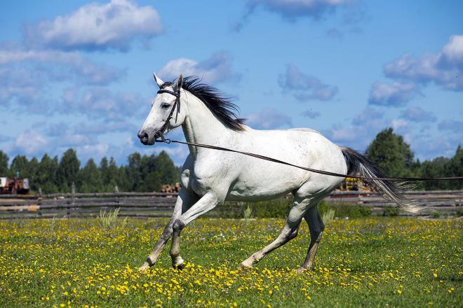 Терские лошади высокие и крепкие