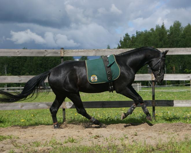 Лошади этой породы были фаворитами на международных выставках