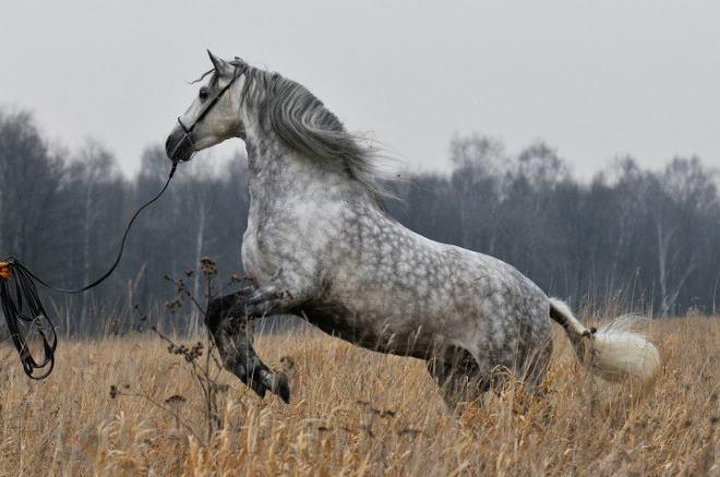 Когда лошади использовались для кавалерии, их численность значительно снизилась