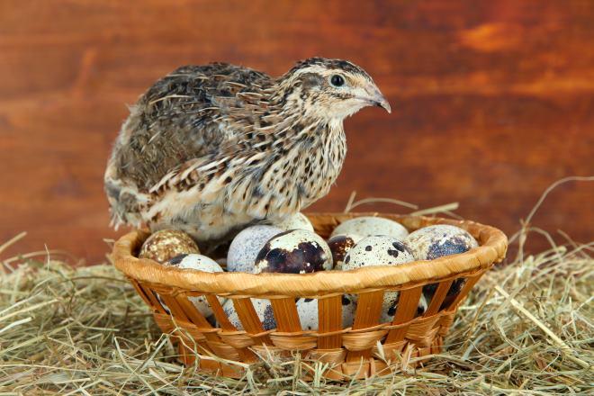 За год перепелка несет до 280 яиц