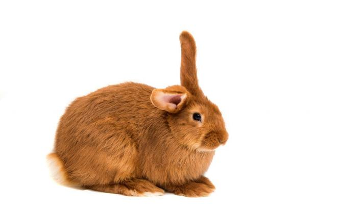 Порода рыжих кроликов имеет стойкий иммунитет