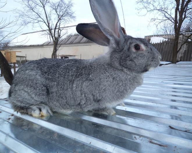 """Выращивание кроликов """"Серый великан"""" требует сил и внимания"""