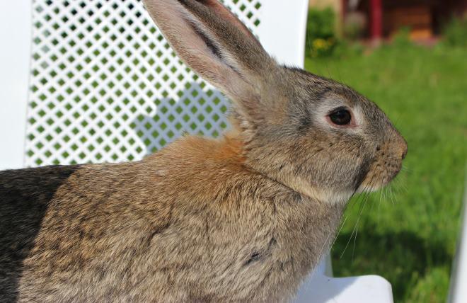 Размер кролика достигает 75 сантиметров