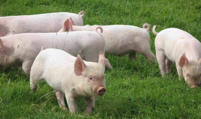 Для содержания свиней, желательно правильно обустроить помещение